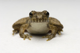 Close Up Portrait of a Northern Cricket Frog Photographic Print by Michael Forsberg