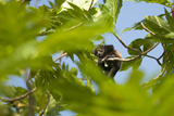 A Baby Mantled-Howler Monkey Rests in a Tree Branch Photographie par Jeff Mauritzen