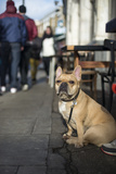 A Dog on a Leash in London's Broadway Market Waits Patiently for its Owner Photographic Print by Alex Treadway