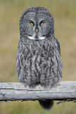 A Great Gray Owl Sits on a Fence Post Photographic Print by Barrett Hedges