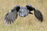 A Great Gray Owl's Wings are Preparing to Expand Out Fotografisk tryk af Barrett Hedges