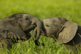 Medium Close-Up of Two Elephant Calves Playing Between the Herd, Botswana Photographic Print by Beverly Joubert