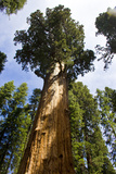 Looking Up at a Giant Redwood Tree Photographic Print by Stacy Gold