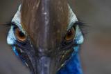 A Close Up of a Southern Cassowary, a Flightless Bird Fotografisk trykk av Michael Melford