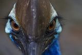 A Close Up of a Southern Cassowary, a Flightless Bird Photographic Print by Michael Melford