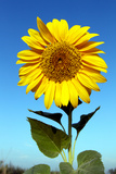 Sunflower, Helianthus Petiolaris, Against a Blue Sky Photographic Print by Sean Gallagher