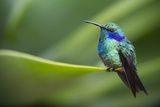 A Perching Green Violet Ear Hummingbird Photographic Print by Roy Toft