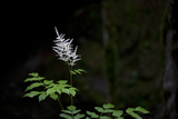 A White Wildflower in Bloom Against a Dark Background Photographic Print by Ulla Lohmann