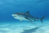 A Remora Swimming Underneath a Tiger Shark, Galeocerdo Cuvier Reproduction photographique par Jeff Wildermuth