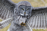 A Great Gray Owl Focuses in on its Next Meal Fotografisk tryk af Barrett Hedges