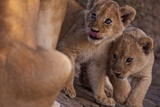 A Pair of Lion Cubs from the Barafu Pride Photographic Print by Michael Nichols