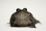 A Federally Endangered Dusky Gopher Frog, Rana Sevosa Photographic Print by Joel Sartore
