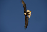Portrait of a Bald Eagle, Haliaeetus Leucocephalus, in Flight Photographic Print by Michael S. Quinton