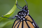A Monarch Butterfly, Just after Emerging from a Chrysalis Photographic Print by Michael Melford