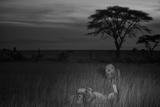 Adult Male Lions Return to the Barafu Pride Lámina fotográfica por Nichols, Michael