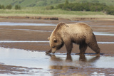 A Brown Bear Drinks Water from a Katmai Floodplain Photographic Print by Matthias Breiter