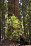 A Sapling Grows Amid Giant Redwoods in a Forest Photographic Print by Stacy Gold