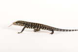 Argentine Black and White Tegu, Tupinambis Teguixin Photographic Print by Joel Sartore