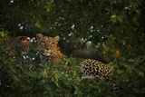 A Leopard and Her Cub Resting in a Tree Top Photographic Print by Beverly Joubert