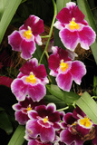 A Cluster of Pink Miltoniopsis Orchid Flowers, Miltoniopsis Species Photographic Print by Darlyne A. Murawski