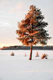A Tree Glows in Sunlight in a Snow Covered Winter Landscape Near Lulea Photographic Print by Lola Akinmade Akerstrom