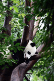 A Giant Panda, Ailuropoda Melanoleuca, in a Tree Photographic Print by Sean Gallagher