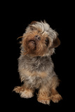 A Studio Portrait of Tasha, a Terrier Mix Photographic Print by Joel Sartore