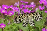 A Rice Paper Butterfly, Idea Leocone, Pollinating Pink Daisies Photographic Print by Darlyne A. Murawski
