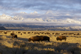 A Large Herd of Bison Gather in Front of the Tetons Photographic Print by Barrett Hedges