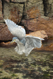 A Young Black-Crowned Night Heron Flies from a Rock Photographic Print by Gordon Wiltsie