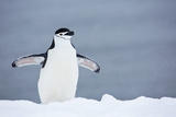 A Chinstrap Penguin Walking in a Snow Shower Photographic Print by Ira Meyer