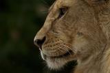 A Female Lion Cub from the Vumbi Pride Photographic Print by Michael Nichols
