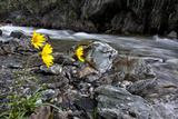 Yellow Wildflowers Beside a Swift Flowing Creek Photographic Print by Peter Mather