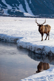 A Bull Elk, Cervus Canadensis, in a Snowy Landscape Photographic Print by Joshua Howard