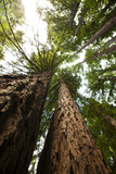 Looking Up the Trunks into the Canopies of Towering Redwood Trees Reproduction photographique par Keith Barraclough