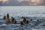 A Pod of Steller Sea Lions, Eumetopias Jubatus, Peering Above the Water's Surface Photographic Print by Michael S. Quinton