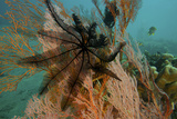 A Feather Star Crinoid on a Sea Fan Photographic Print by Tim Laman