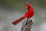 A Male Cardinal Perched on a Stump Reproduction photographique par Karine Aigner