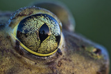 Closeup View of a Palm Tree Reflection in the Eye of a Couch's Spadefoot Toad at Sunset Photographic Print by Karine Aigner