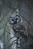 Portrait of a Boreal Owl, Aegolius Funereus, Perched on a Tree Branch Photographic Print by Michael S. Quinton