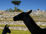 Llamas in the Main Square at Machu Picchu Lámina fotográfica por Diane Cook Len Jenshel