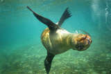 A Galapagos Sea Lion Frolics in the Ocean Off the Galapagos Islands Photographic Print by Cory Richards