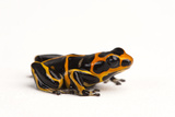 An Endangered Summers' Poison Frog, Ranitomeya Summersi Photographic Print by Joel Sartore