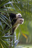 An Adult and Juvenile Brown Capuchin Monkey Photographic Print by Roy Toft
