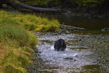 A Black Bear Chases Down a Salmon in a Stream Fotoprint van Jed Weingarten