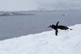 A Gentoo Penguin Tobagganing in a Snow Storm Photographic Print by Ira Meyer