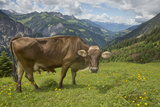 Portrait of a Free-Roaming Dairy Cow in the Austrian Alps in Summer Photographic Print by Ulla Lohmann