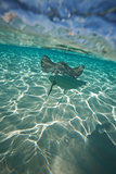 A Stingray Swims over a Series of Shallow Sandbars Off the Cayman Islands Photographic Print by Chris Bickford