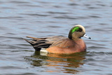 Portrait of a Male American Wigeon, Anas Americana, Swimming Photographic Print by George Grall
