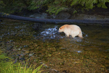 A Kermode or Spirit Bear Fishing for Salmon Photographic Print by Jed Weingarten